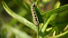 Monarch butterfly caterpillar,Danaus plexippus feeding.