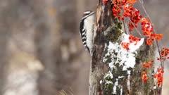 Downy woodpecker,  Picoides pubescens,feeding in  winter.