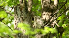 Barred owl baby, owlet, young.