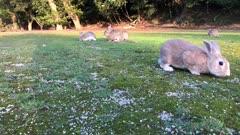 Wild rabbits running towards camera on Okunoshima 'Rabbit Island' (Japan)