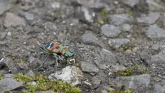 Japanese tiger beetle exercising jaws and fighting with a fly