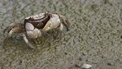 Sesarmid marsh crab crawling across mud flats.