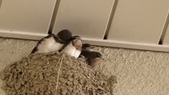 Baby swallows in their nest receiving food from parent. High quality 4k footage