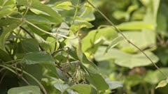 Japanese Katydid (Gampsocleis buergeri) dragging a carcass through lush green foliage. High quality 4k footage.