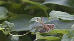 Japanese Katydid (Gampsocleis buergeri) in lush green foliage & turning to face camera. High quality 4k footage.