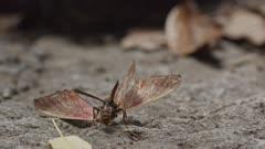 A wasp feeding on a moth carcass on the forest floor.