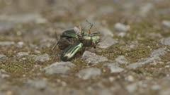 Flies and ant feeding on beetle carcass.