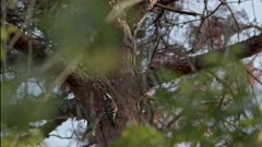 Japanese pygmy woodpecker foraging for insects on a tree.