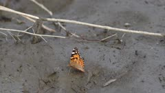 Indian fritillary butterfly beating wings whilst walking across mudflats. High quality 4k footage.