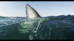 Great White Shark Fin On Surface,Split Shot,Over-Under