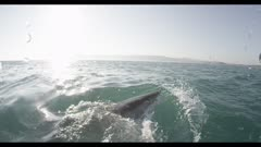 Great White Shark On Surface,Split Shot,Over-Under