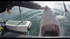 Great White Shark On Surface next to boat,man pushes nose