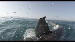 Great White Shark Fin On Surface,Split Shot,Over-Under