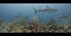 Caribbean Reef Sharks in the Bahamas