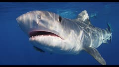 Tiger Sharks feed on bait in blue water; one bumps camera with nose
