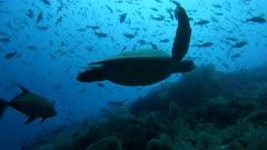 Green Sea Turtle at the Galapagos Islands