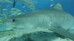Sharks at Tiger Beach in the Bahamas