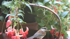 Juvenile chickadees feed next to fuchsia plant