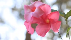 Pink mandevilla blossoms on a vine with room for text