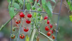 Small tomatoes ripening on the vine