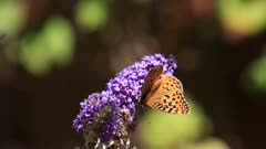Colorful insect feeds on shrub also known as butterfly bush