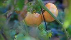 Pale orange-colored tomatoes ripen in late summer.