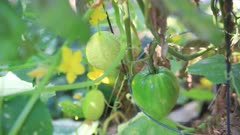 Lemon cucumbers have moved into an area where oxheart tomatoes are growing.