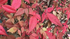 Bright russet hues of a heavenly bamboo or nandina shrub