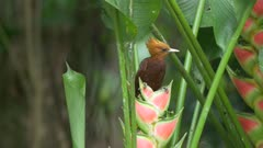Chestnut-colored Woodpecker on heliconia flower and fly