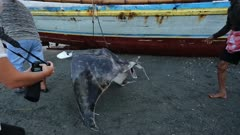 Mobula ray carried to fish market