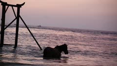 Horses frolicking in the sea at sunset