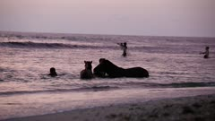 Horses frolicking at the beach at sunset