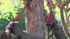 Komodo Dragons feeding on a Goat 2