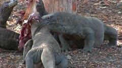 Komodo Dragons feeding on a Goat 3