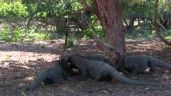 Komodo Dragons feeding on a Goat