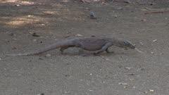 Komodo Dragons walking