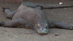 Komodo Dragon resting