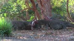 Komodo Dragons feeding on a Goat 7