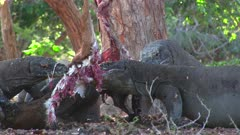 Komodo Dragons feeding on a Goat 8