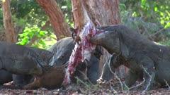 Komodo Dragons feeding on a Goat 9