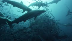 Sardine Run, South Africa. Massive bait ball being predated on by hundreds of sharks.