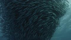 Sardine Run, South Africa. Massive bait ball.