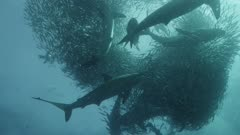 Sardine Run, South Africa. Massive bait ball being predated on by hundreds of sharks and gannets diving.