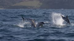 Pod of Dolphins leaping through the water