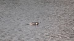 Northern Pintail (Anas acuta) is dabbling in the water