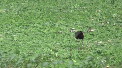 Bronze-winged jacana (Metopidius indicus) is walking on aquatic weeds and picking food.