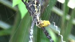 Signature Spider (Argiope sp) Eating