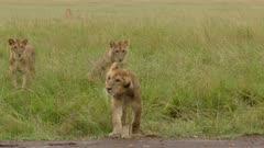African Lion (Panthera leo )juveniles playing and splashing around in water, while heavily raining