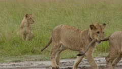 African Lion (Panthera leo )juveniles playing and biting in tail, splashing around in water, while heavily raining