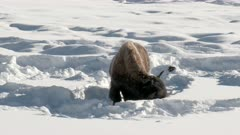 American Bison (Bison bison) pushing snow aside to graze